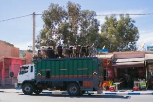 Uz auto jumtiem tiek transportēti ne tikai cilvēki, ceļojumu čemodāni, bet arī govis.